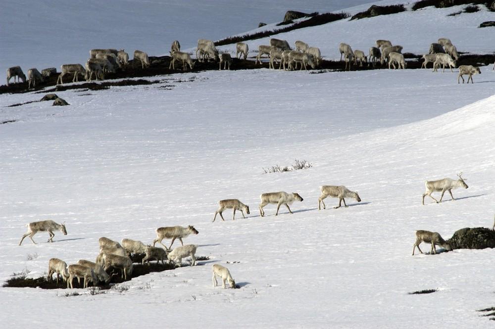 Villreinflokk på vinterbeite. Foto: Olav Strand