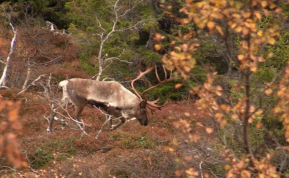 Reinen i Brattefjell-Vindeggen går mye i skogsområdene i sør gjennom sommer og tidlig høst. Nå vil vi ha mer detaljert kunnskap om dette. Foto: Anders Mossing