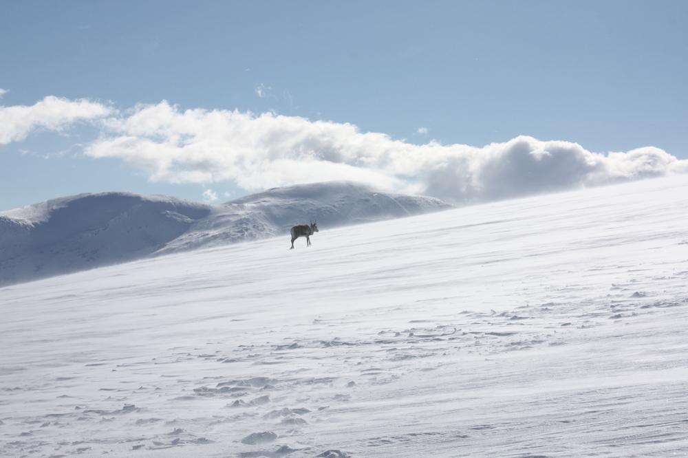 Gps-merka villreinsimle i Snøhetta villreinområde. Foto: Ingrid Nerhoel, Norsk Villreinsenter