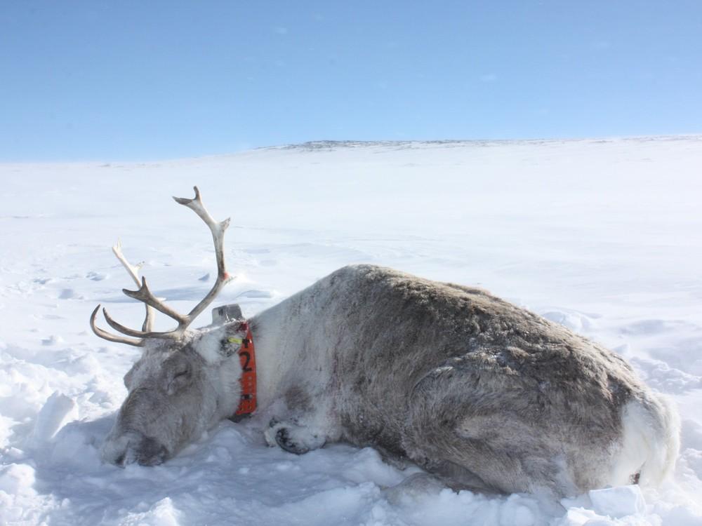 Villreinsimla i Snøhetta har akkurat fått påsatt halsbånd med GPS-sender