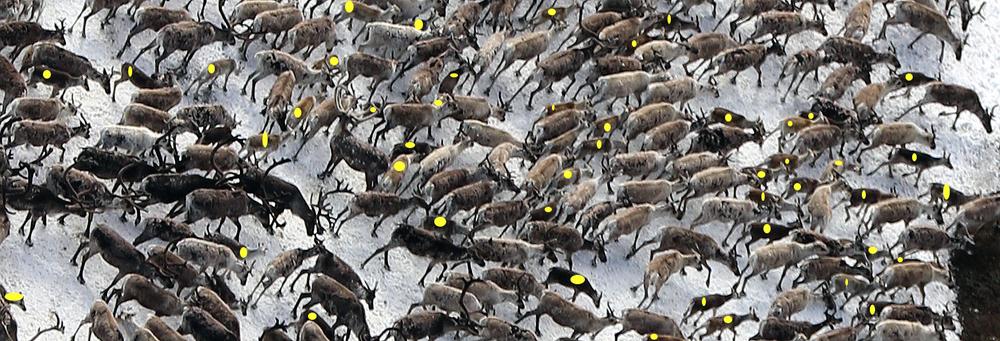 Årets kalvetelling i Nordfjella ble gjennomført den 20. juli. Tellinga viste 54,5 kalver per 100 simle/ungdyr - som er et meget godt resultat. Illustrasjonsfoto (hvor kalver er merket med gult): Arne Nyaas