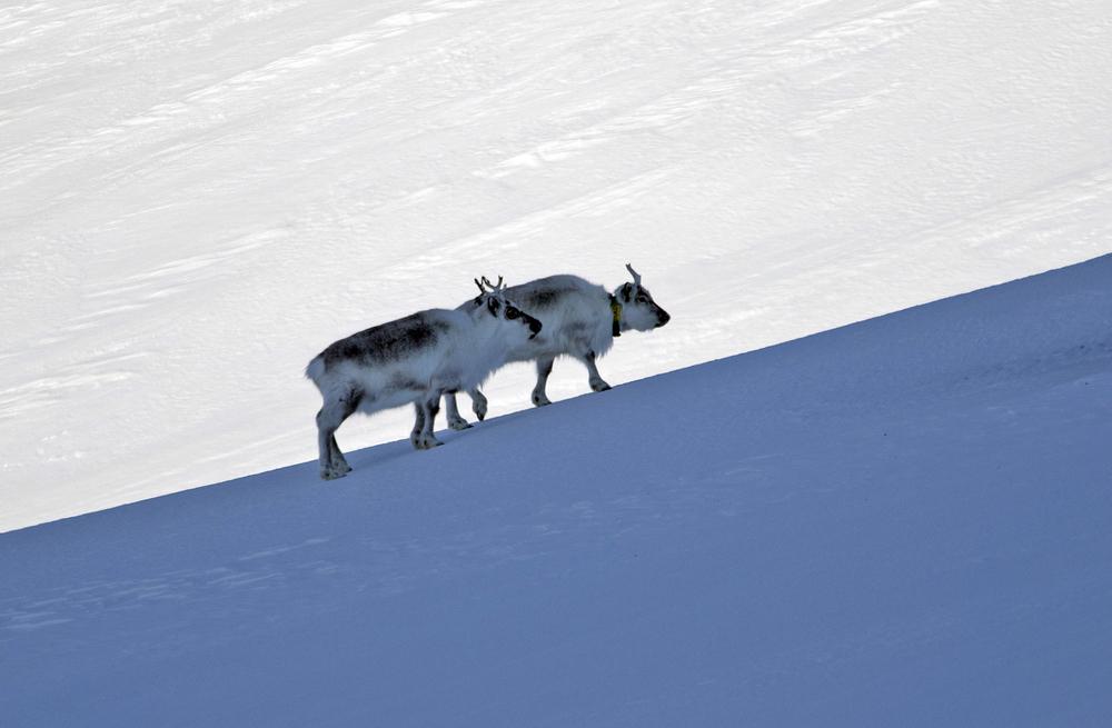 Moderne teknologi som GPS-klavar for kartlegging av trekkaktivitet har også blitt teke i bruk på Svalbardreinen. Desse dyra er fotografert i Colesdalen, eitt av dei seks jaktområda på Spitsbergen.Foto: Kjell Bitustøyl