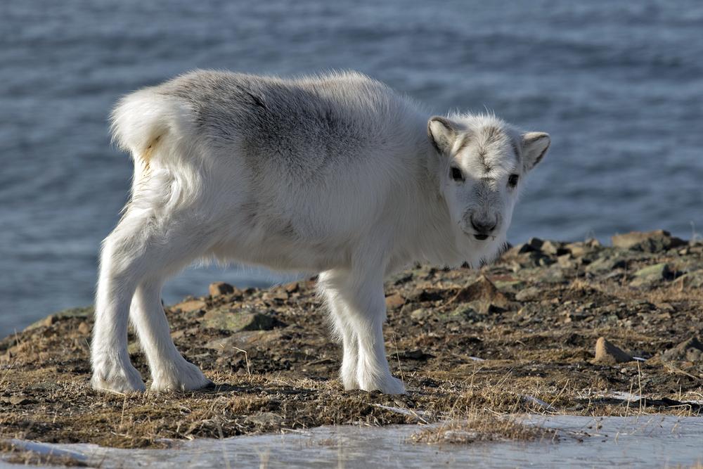 Ungdyr av svalbardrein. Dyra er svært lite sky og brukar mesteparten av tida til å beite. Svalbardreinen har, til forskjell frå reinsdyra på fastlandet, ikkje utvikla flokkstruktur, dei går berre i spreidde små grupper.Foto: Kjell Bitustøyl