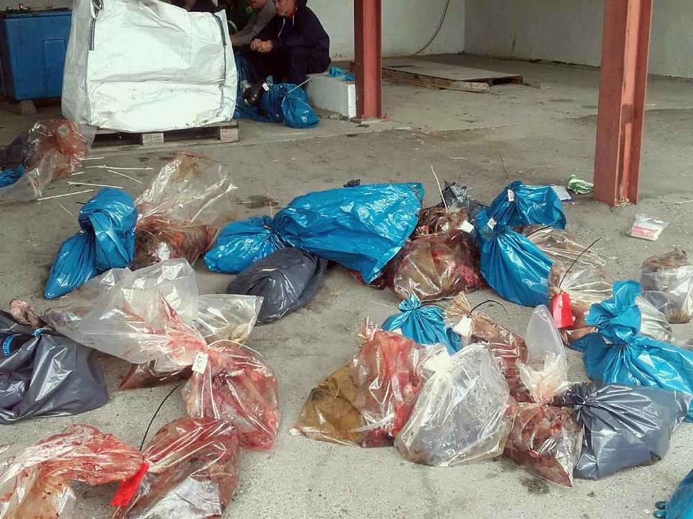 250 villrein fra Hardangervidda (lynnedslaget) skal analyseres for mulig CWD (Chronic Wasting Disease). Det er hodene som sendes inn. Her fra mottaket i Borgund i Lærdal. Foto: Lars Nesse