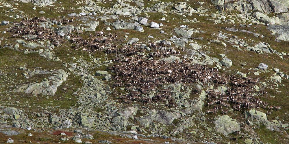 Flokken som nærma seg grensa, men som blei verande på telemarksida. Foto: Kjell Bitustøyl