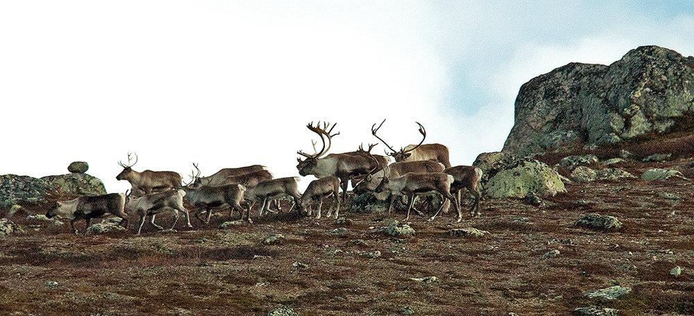 Villreinjakta i Blefjell er utvida frå og med 1. oktober til og med 9. oktober. Foto: Kjell Bitustøyl