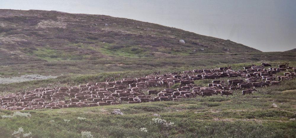 "Villreinjakta på Hardangervidda utvides med ni dager, f.o.m. lørdag 1. oktober t.o.m. søndag 9. oktober. Foto: Halvor Nordjordet (fra boka ""Reinen på Hardangervidda"", utgitt i 2012)."