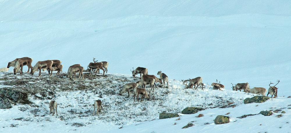 Dyra i Brattefjell-Vindeggen har i no for tida gode dagar i vinterbeitet nord i området, det er sparsamt med snø og lett tilgang til lavbeita. Foto: Kjell Bitustøyl