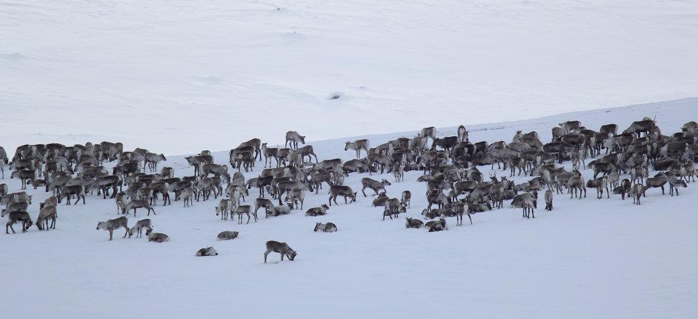 Vinteren er en flaskehals for villreinen. De senker aktivitetsnivået for å spare energi. Foto: Anders Mossing