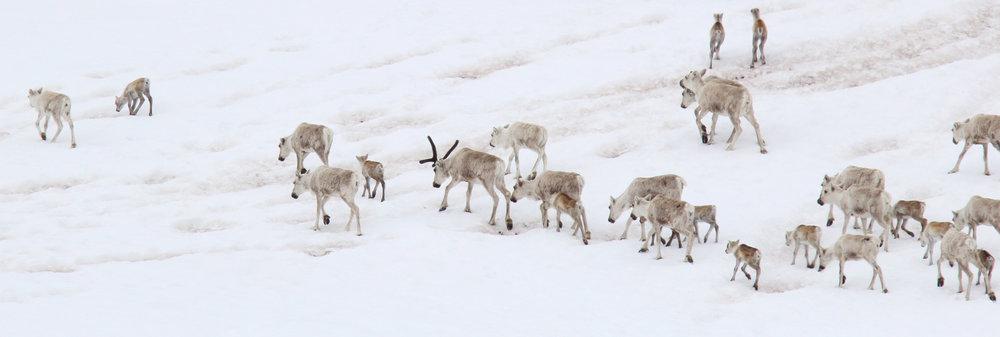 Villreinen skal følges opp tett utover vinteren og våren. Illustrasjonsfoto: Anders Mossing