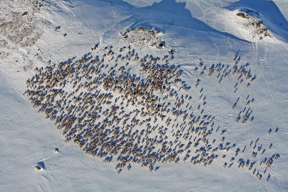 I denne flokken fotografert i Sone 1 i Bjøbergdalen den 2. mars var det 1450 dyr. Det viste opptellingen gjennomført av Nordfjella villreinutval. Foto: Villreinutvalet v/Harald Skjerdal