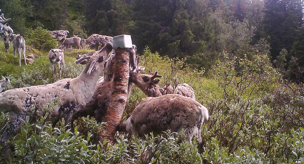 I forslag til nye forskrifter foreslås bl.a. et generelt forbud mot saltslikkestein til ville hjortedyr. Illustrasjonsfoto: Annbjørg Sisjord/viltkamera
