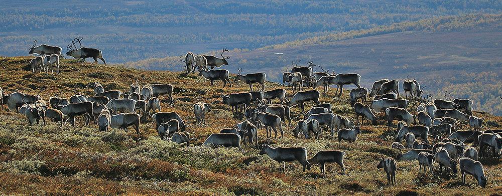 Villreinjakta er fortsatt ettertraktet. Fjellstyrene i Oppland og Sunndal mottok 3249 søknader. 209 ble trukket ut med jakt. Illustrasjonsfoto: Arne Nyaas