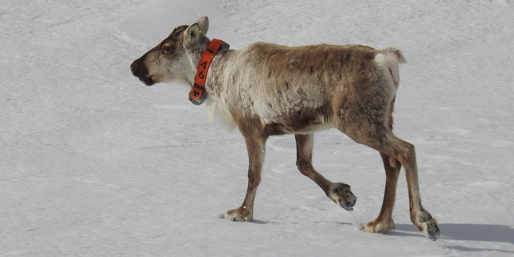 Den 20. mai ble det 4. tilfellet av skrantesyke bekreftet i Nordfjella. I vinter merket Norsk institutt for naturforskning (NINA) flere villrein med GPS-sendere i Nordfjella villreinområde. Det ble tatt vevsprøver av disse dyra. Det er en av de merka bukkene som nå har fått påvist Skrantesyke. Bukken er nå tatt ut og sendt til Veterinærinstituttet for videre undersøkelse. Les mer på NINAs  nettsider.  Foto: Roy Andersen, NINA.