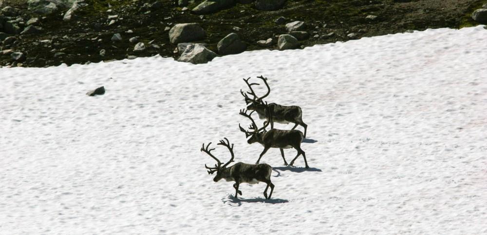 Reinen trekkjer opp i høgda og ut på snøfennene på varme sommardagar. Foto: Kjell Bitustøyl