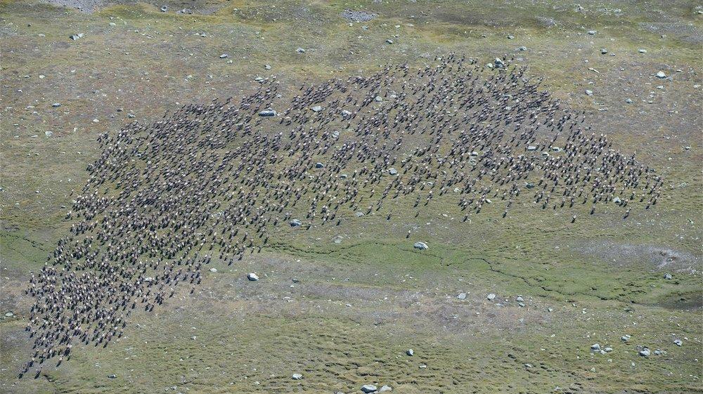 Storflokk med 2097 dyr fotografert under kalvetelling på Hardangervidda i forrige uke. Foto: Olav Strand