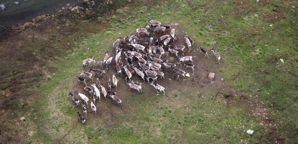 Saltslikkesteinar som tiltrekkjer seg hjortedyr i utmark er forbode i Nordfjella sone 1. Illustrasjonsfoto: Roy Andersen/NINA