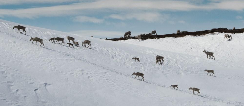 På vår nettside kan du finne informasjon om alle norske villreinområder. Illustrasjonsfoto: Kjell Bitustøyl