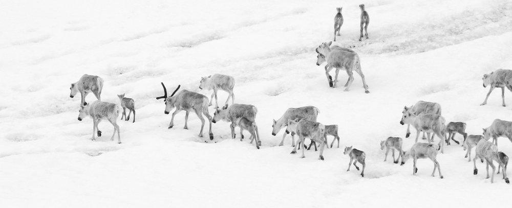 Villreinen fikk en sentral plass i en nylig sending av Ekko på Nrk. Illustrasjonsfoto: Anders Mossing