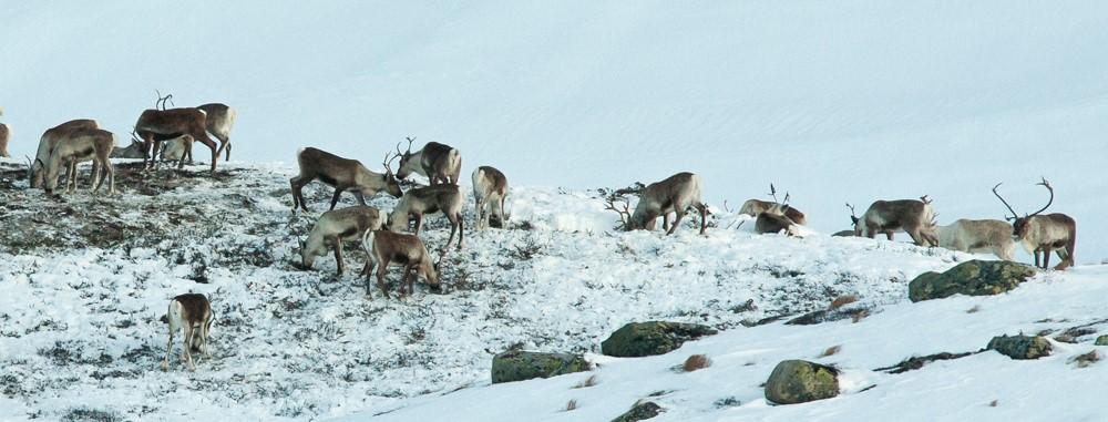Brattefjell-Vindeggen-rein skal no for fyrste gong GPS-merkast. Dette er dyr på vinterbeite på Månelibrotet, lengst nord i området. Foto: Kjell Bitustøyl