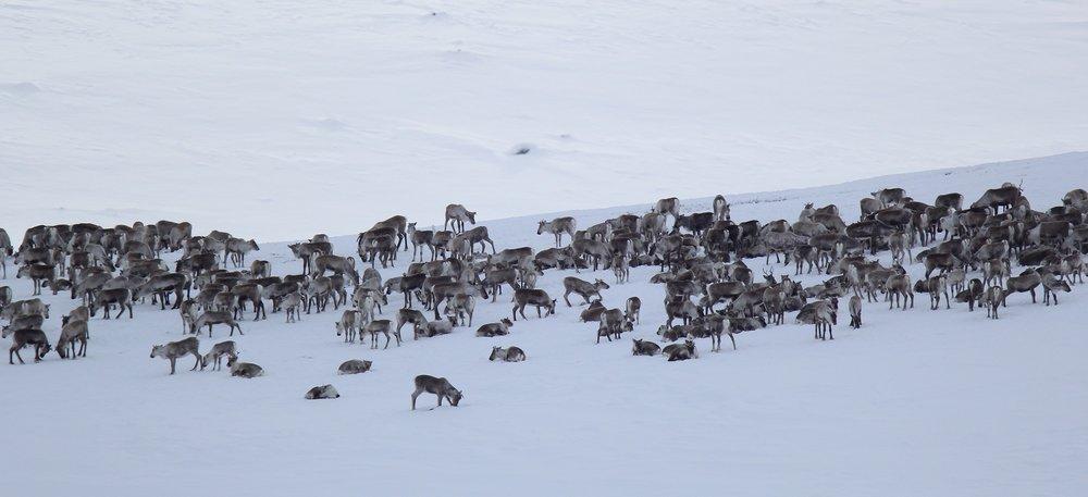 Foto: Anders Mossing, Norsk villreinsenter