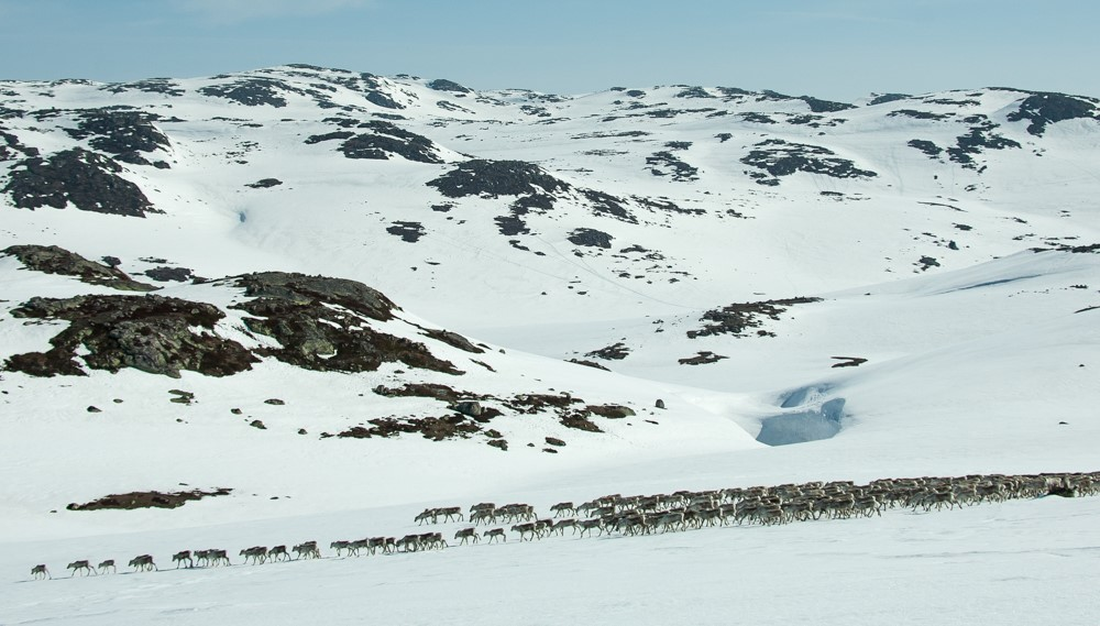 Villreinbestanden på Hardangervidda er i fylgje villreinutvalet redusert, dette får konsekvensar for jakta til hausten. Foto: Kjell Bitustøyl