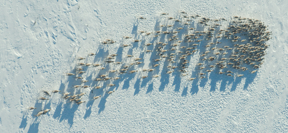 458 dyr blei funne i den nyleg gjennomførte minimumsteljinga i Nordfjella sone 2, altså sør for fylkesveg 50 Hol-Aurland. Dette er ein av flokkane. Foto: Asle Feten