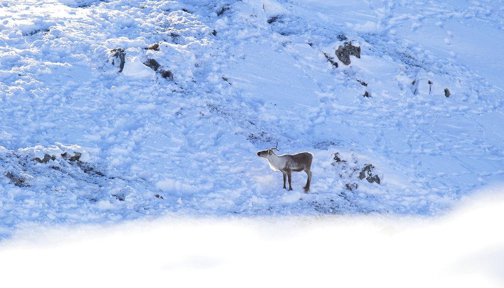 """Alle dei """"kjende"""" dyra i Nordfjella sone 1 er teke ut, men fellingslaga fortsetter søken etter einskild dyr og/eller mindre flokkar. Illustrasjonsfoto: Anders Mossing"""