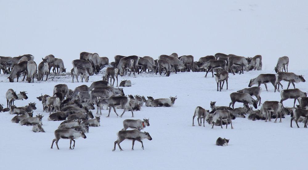 Inntil fem rein skal merkast med GPS-sendarar i Nordfjella sone 2. Illustrasjonsfoto: Anders Mossing