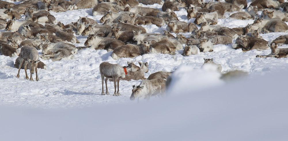 Ein har sett einskilde tendensar til pelsslitasje om våren, men ikkje påvist større konsekvensar for dyra. Foto: Anders Mossing