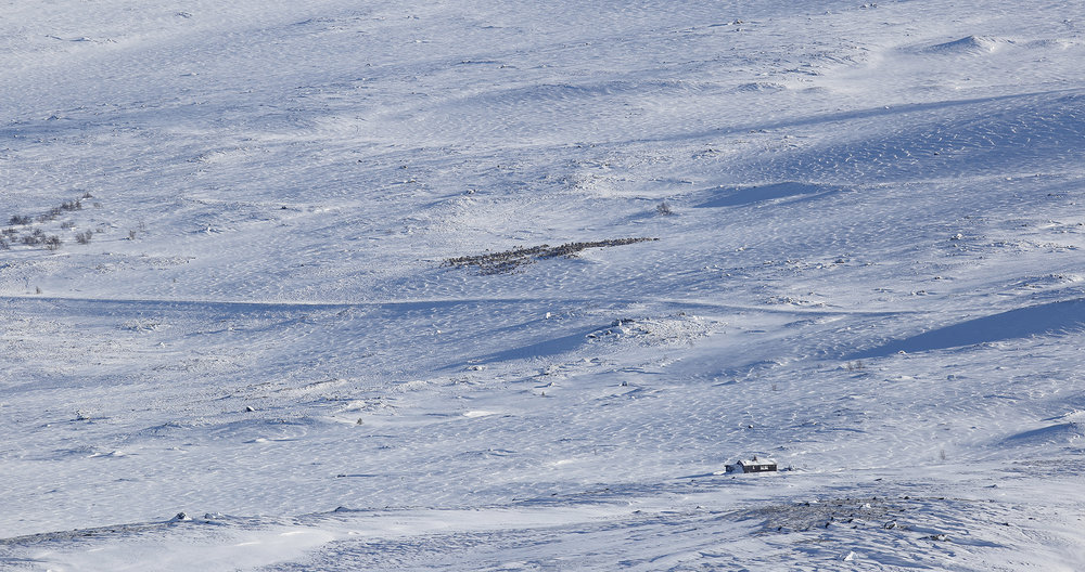 Denne flokken på ca. 2000 dyr beitet i flere uker på Lufsjåtangen vinteren 2018. Her har den nylig krysset den vinterstengte veien over fjellet. Foto: Anders Mossing