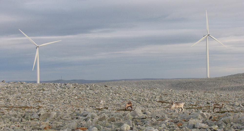 """Villrein og vindkraft går ikke """"hånd i hånd"""". Dette illustrasjonsbildet er fra et tamreinområde. Foto: Jonathan E. Colman"""