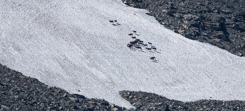 Tamrein frå Lom Tamreinlag søkjer seg mot snøfennene høgt til fjells ved Tverrbotntindane. Foto: Kjell Bitustøyl