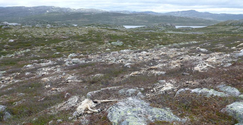 Fyrste fase medførte overgjødsling og eit surare jordsmonn på grunn av rotnande åtsel. Foto: Knut Nylend/Statens naturoppsyn