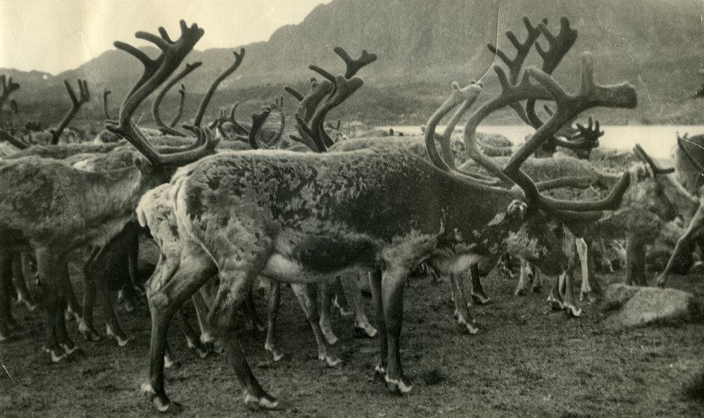 Samling i samband med kalvemerking i Væringsdalen på 1930-talet, litt nordvest for Breive-gardane i Bykle (foto utlånt av Annelise Breive Skjævesland).