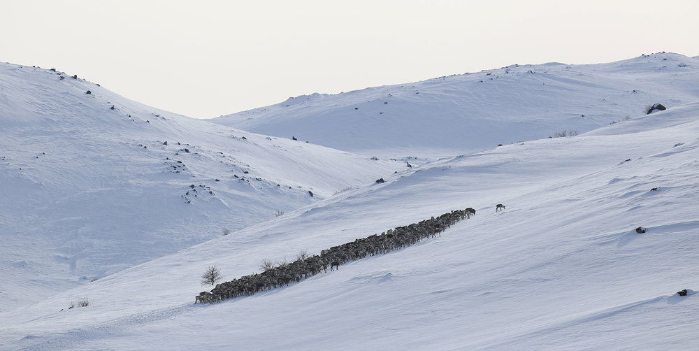 NJFF vil ha skrapere fokus på villrein i sitt videre arbeid. Foto: Anders Mossing