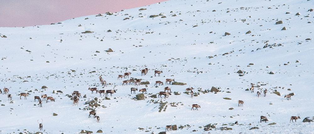 I Hardangervidda nasjonalpark er villreinen ein svært viktig del av forvaltningsproblematikken. Foto: Kjell Bitustøyl