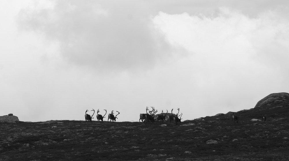 Interimstyret ønsker at Raudafjell skal bli et eget villreinområde. Nå er saken på høring. Illustrasjonsfoto: Anders Mossing