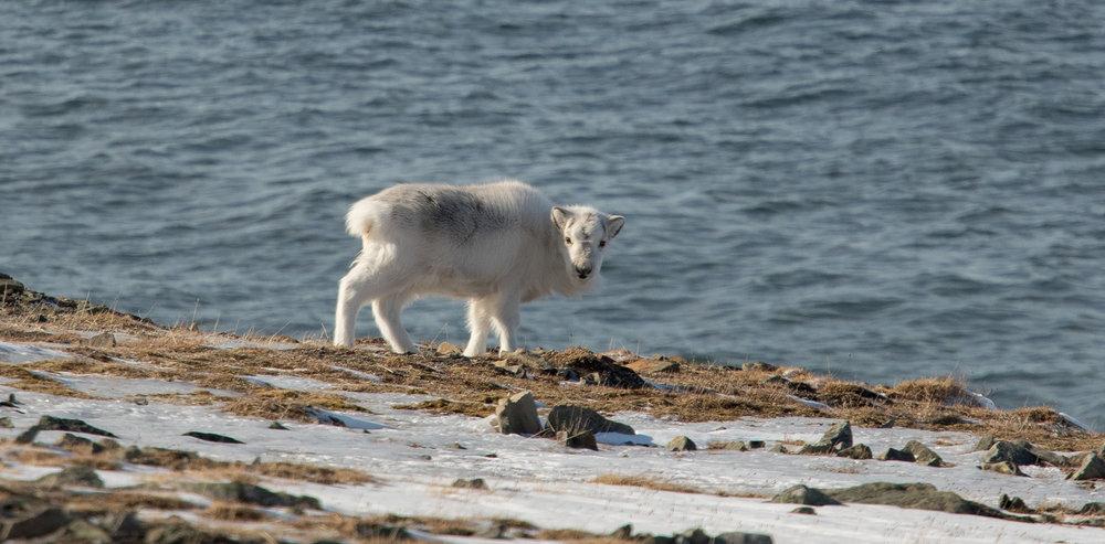 På Svalbard har auka problem med ising ført til blokkering av vinterbeite, noko som blant anna ført til at reinen trekkjer ned til sjøen for å beite på tang og sjøgras i fjøra. Foto: Kjell Bitustøyl