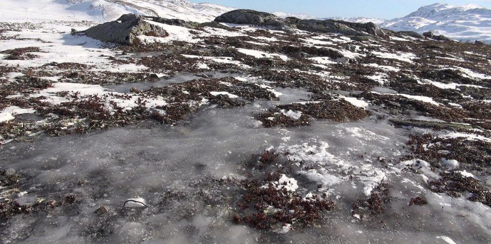 Nedisa beiter i Brattefjell-Vindeggen villreinområde. Foto: Anders Mossing
