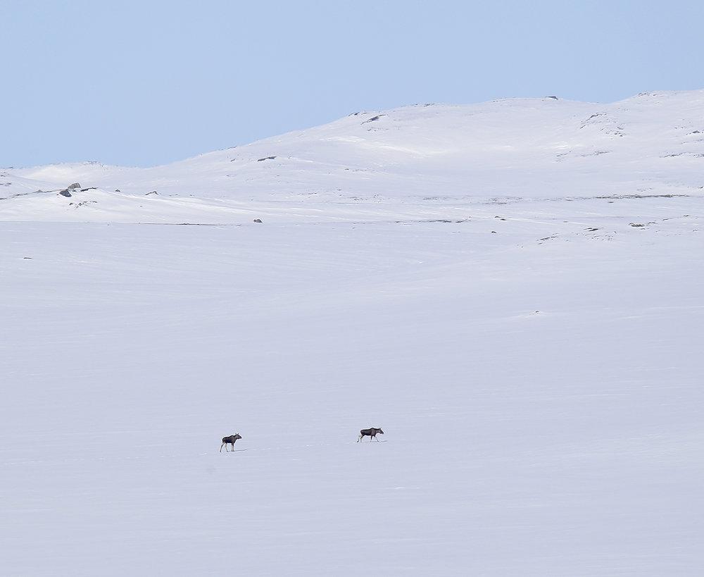 Det er ein aukande overlapping av leveområde for ulike hjorteviltartar. Biletetet er teke sentralt på Hardangervidda vinteren 2018. Elg er ikkje noko uvanleg syn her. Foto: Anders Mossing
