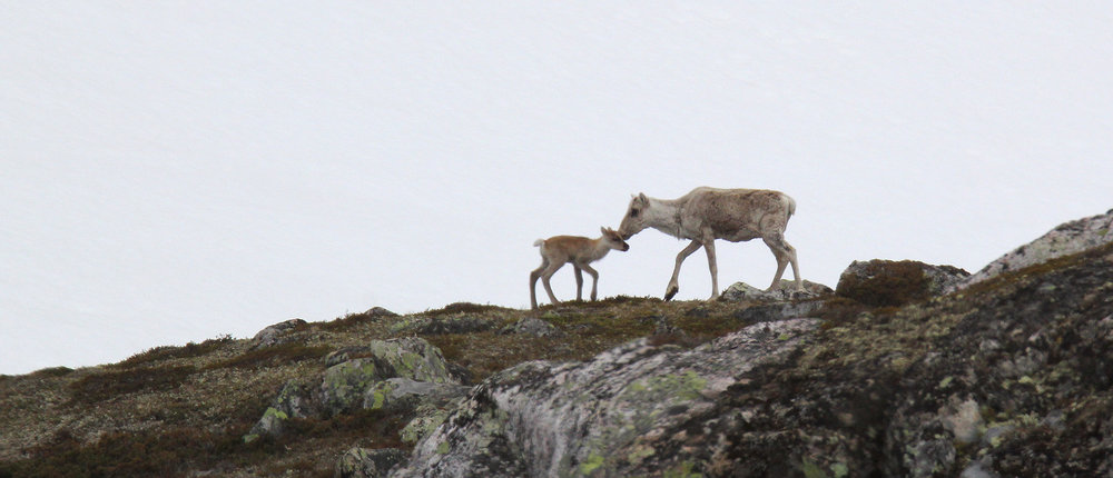 Blir det olje- og naturgassutvinning i et viktig kalvingsområde i Alaska, eller lykkes man i å stoppe initivativet? Illustrasjonsfoto: Anders Mossing