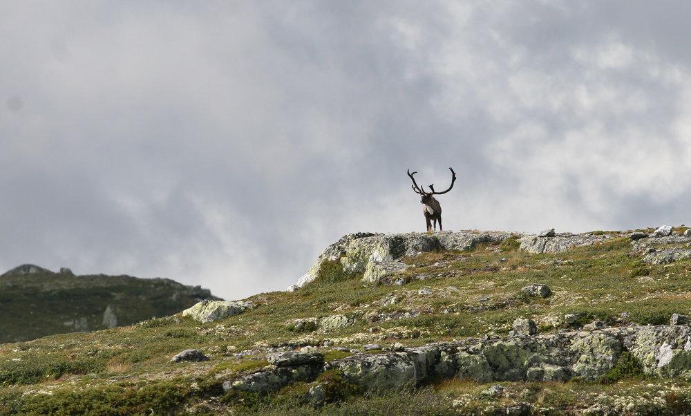 Villreinforum for Rondane-Sølnkletten oppfordrer til revisjon av regional plan for området. Illustrasjonsfoto: Anders Mossing