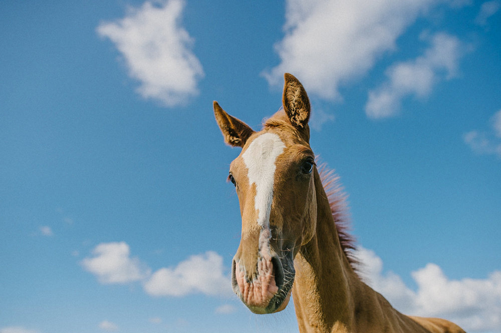 Häst Torekov