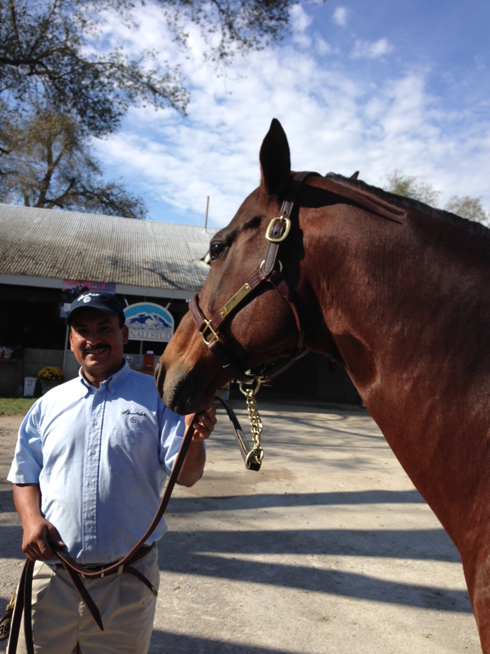 Sage Cat in foal to Union Rags with her groom, pre-sale