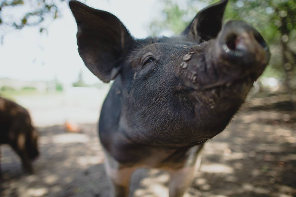Happy pigs, healthy meats.