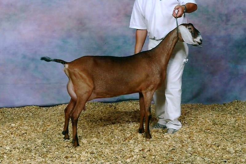 Risin' Creek Khaotic Whimsical (Full Sister)  2nd Place Milking Yearling at 2013 ADGA Nationals
