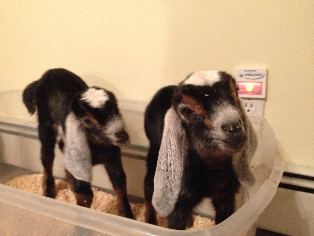 The girls, a few days old and waiting to be fed.  Ava is on the left and Amata is on the right.