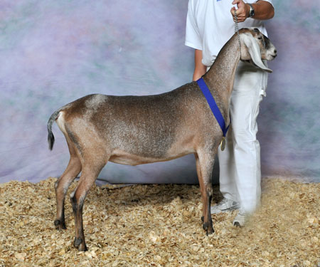 Risin' Creek Khaotic Wende (full sister)  Grand Champion Junior Doe at the 2014 ADGA Nationals