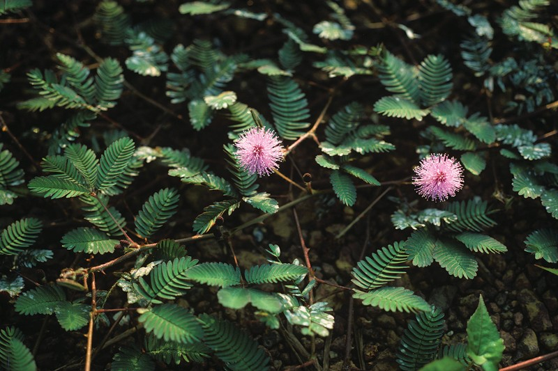 M. pudica plant.